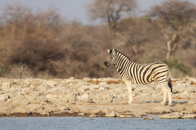 Zebra in piedi lungo la riva di un abbeveratoio Foto Gratuite