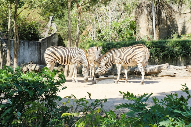 動物園で食べ物を食べるシマウマ。 Premium写真
