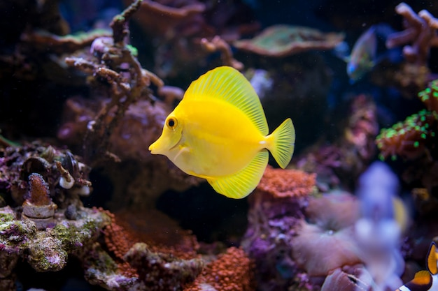 Zebrasoma flavescens in home coral reef aquarium. Premium Photo
