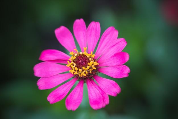 テキストを配置するためのスペースと庭でピンクの一般的なジニア(zinnia elegans) Premium写真