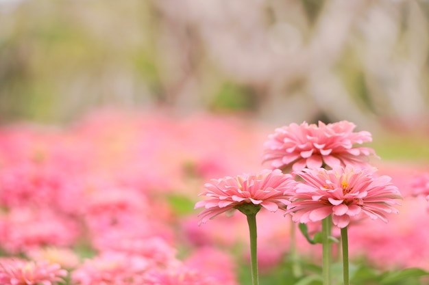Zinnia violacea cav flowers are pretty pink on natural background flowers are pretty pink on natural background premium photo mightylinksfo