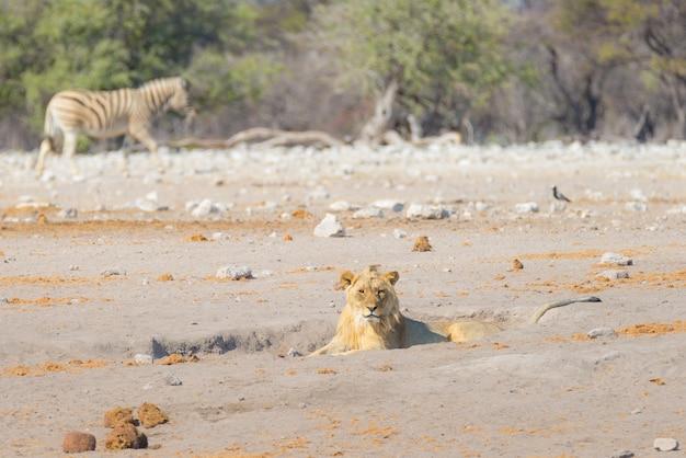 地面に横たわって若い男性怠zyなライオン。邪魔されずに歩くシマウマ。アフリカ、ナミビア、エトーシャ国立公園の野生生物サファリ。 Premium写真