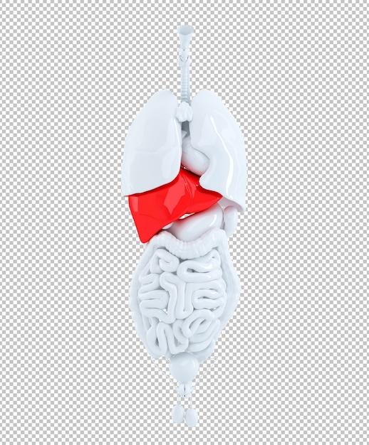 3d render of a human organs focused on liver Premium Psd