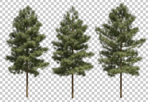 3d rendering of pinus canariensis Premium Psd