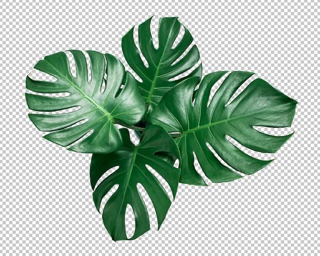 Зеленый лист монстера на изолированных прозрачность. тропические листья Premium Psd