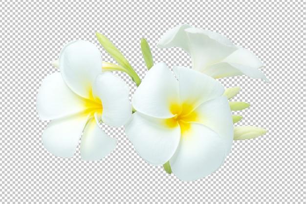 Бело-жёлтый букет цветов плюмерии прозрачный. цветочный Premium Psd