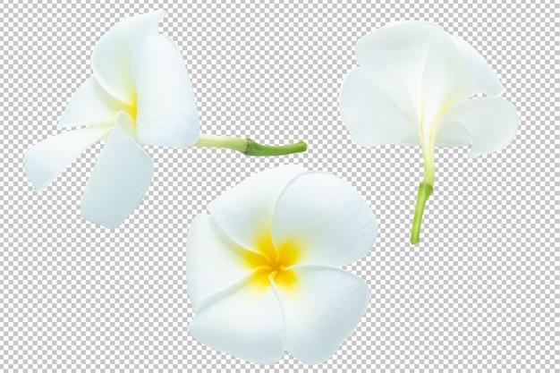Бело-жёлтая прозрачность цветков плюмерии. цветочный Premium Psd