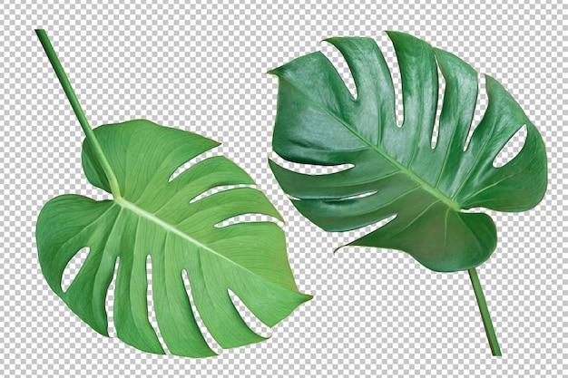 Зеленый лист монстера изолированный прозрачный фон Premium Psd