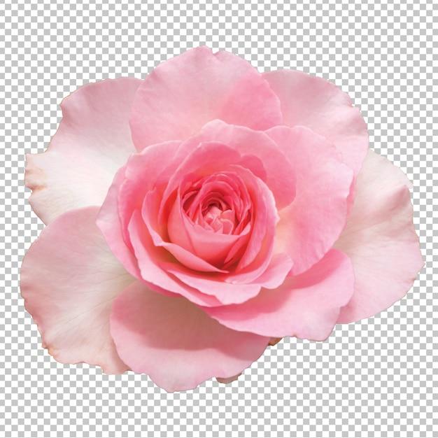 透明のピンクのバラの花 Premium Psd