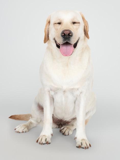 ラブラドールレトリーバー犬の肖像画 無料 Psd