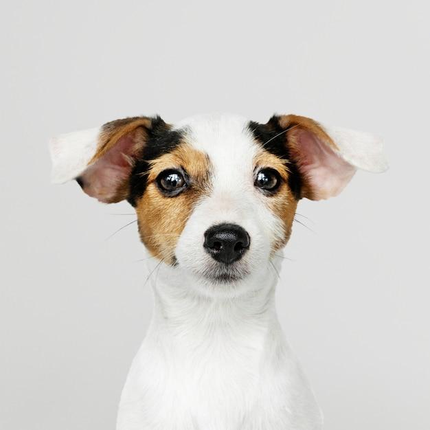 愛らしいジャックラッセルレトリーバー子犬の肖像画 無料 Psd