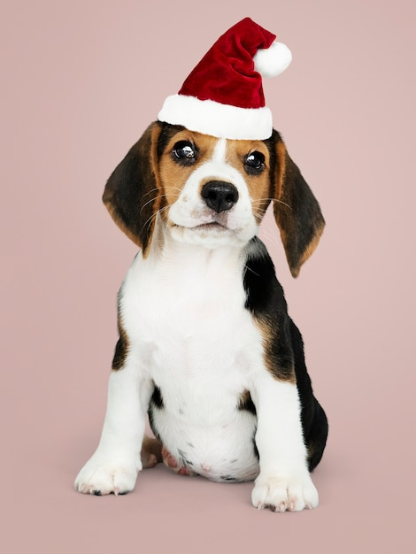Adorable beagle puppy wearing a santa hat Free Psd