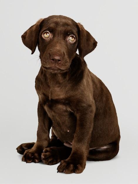 Adorable chocolate labrador retriever portrait Free Psd
