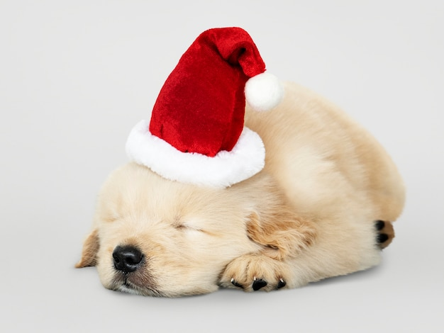 Adorable golden retriever puppy sleeping while wearing santa hat Free Psd