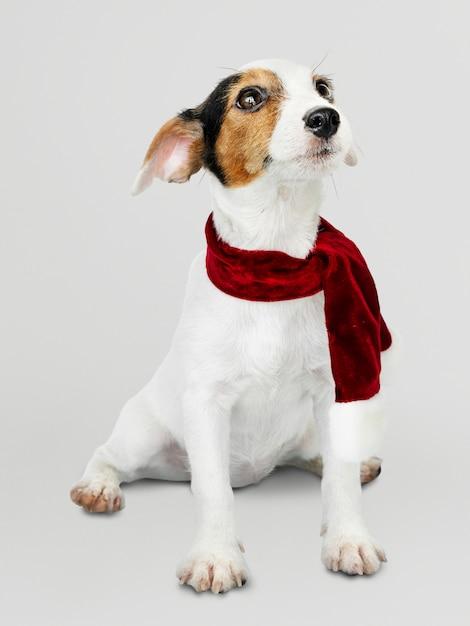 Очаровательный щенок джек рассел ретривер в рождественском шарфе Бесплатные Psd