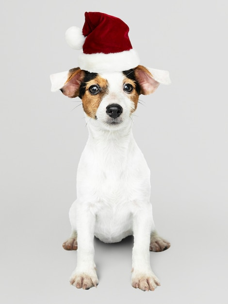 Adorable jack russell retriever puppy wearing a christmas hat Free Psd