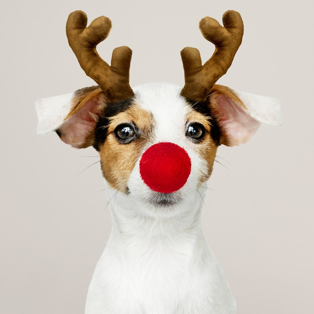 Adorable jack russell retriever puppy wearing a reindeer antler Free Psd