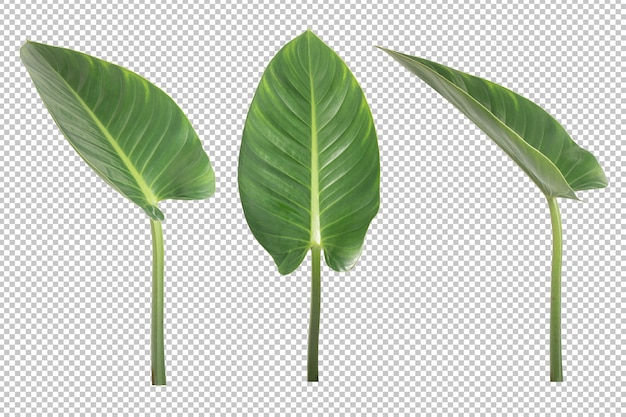 Anthurium veitchii leaves isolated. ornamental plant object Premium Psd