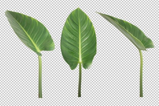 Антуриум veitchii листья изолированы. декоративное растение-объект Premium Psd