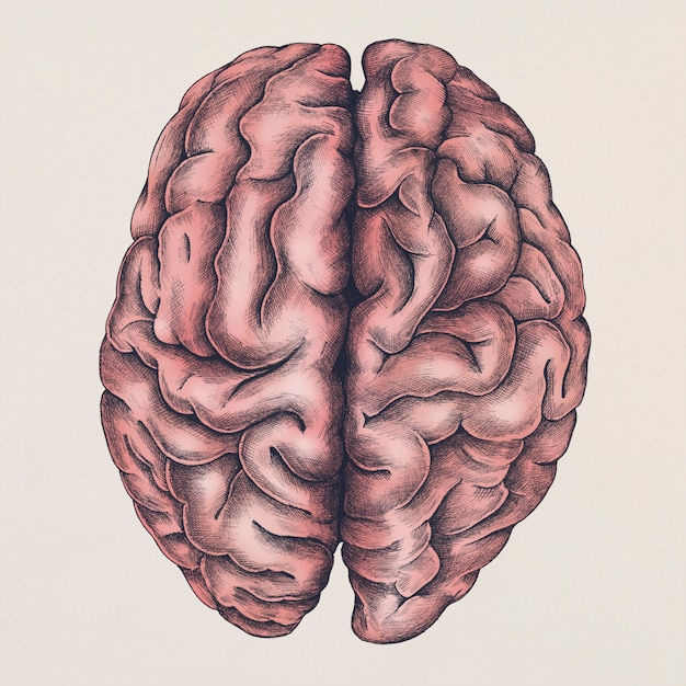 Brain illustration Free Psd