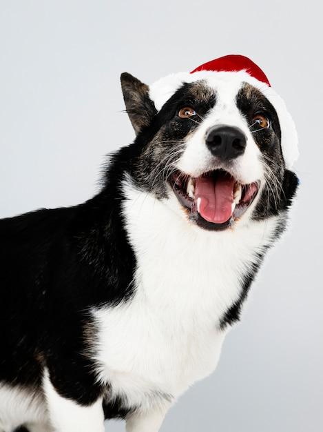 Cardigan welsh corgi con un cappello di natale Psd Gratuite