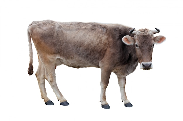 Cow on a white background Premium Psd