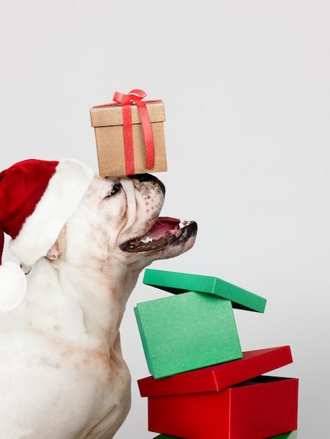 Cute bulldog puppy wearing a santa hat while holding a gift box Free Psd