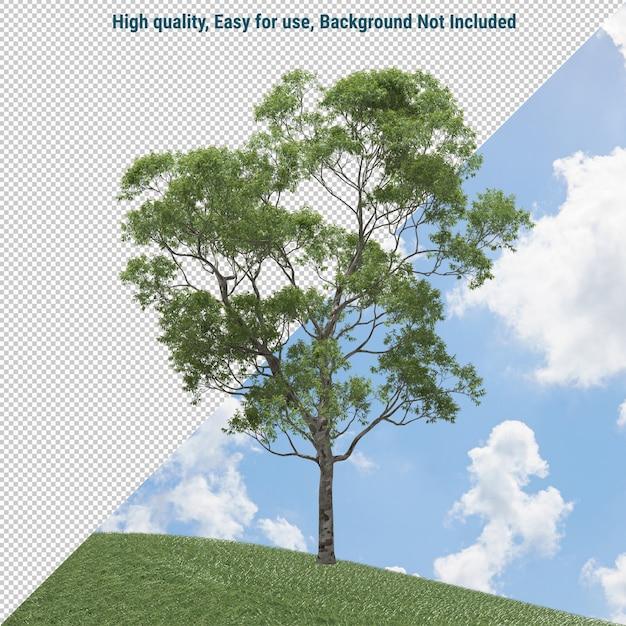Eucalyptus tree isolated Premium Psd