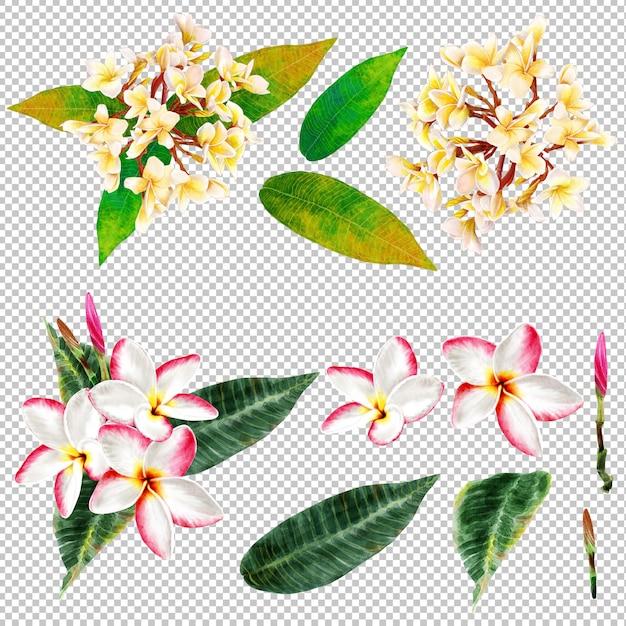 Frangipani flowers watercolor Premium Psd