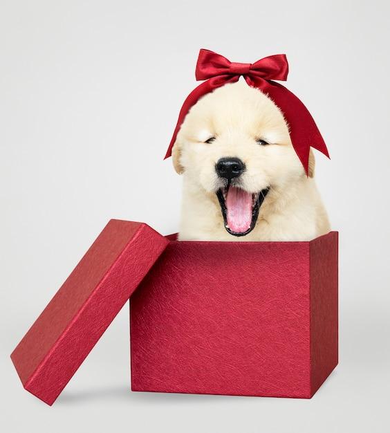 Щенок золотистого ретривера в красной подарочной коробке Бесплатные Psd