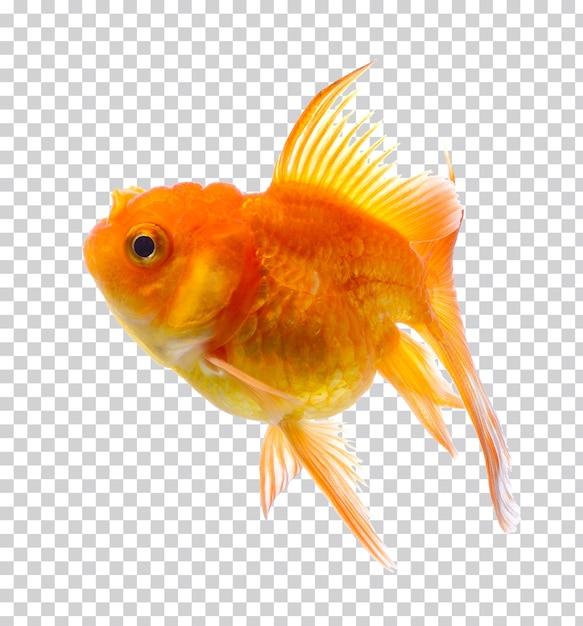 分離された金魚 Premium Psd