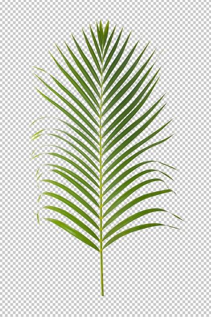 Green leaf ornamental plant isolated Premium Psd