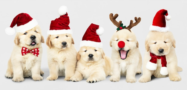 Group of adorable golden retriever puppies wearing christmas costumes Free Psd