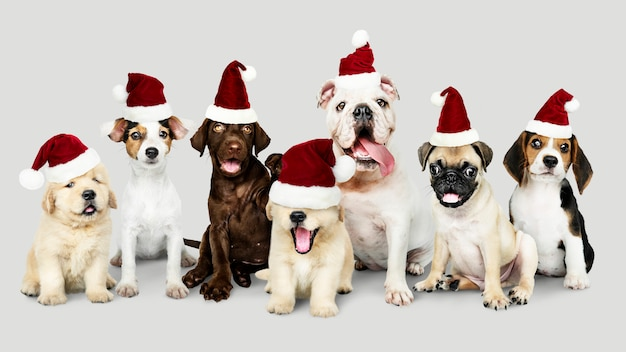 Group of puppies wearing christmas hats to celebrate christmas Free Psd