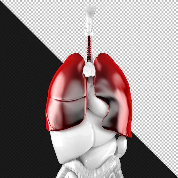 Human lungs anatomical illustration Premium Psd
