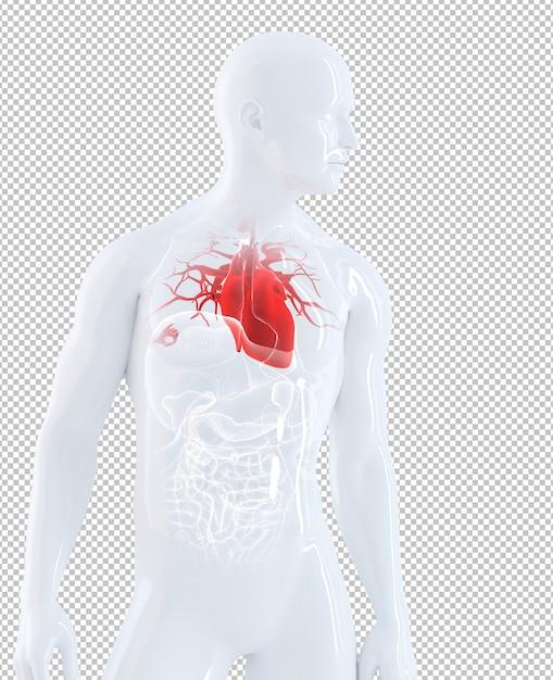 Isolated human organs focused on heart Premium Psd