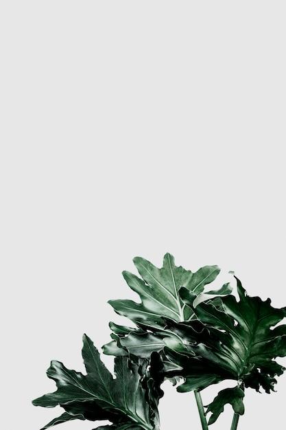 灰色の背景上のphilodendron xanaduの葉 無料 Psd