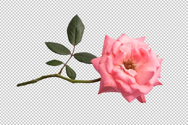 Pink rose flowers on transparent Premium Psd