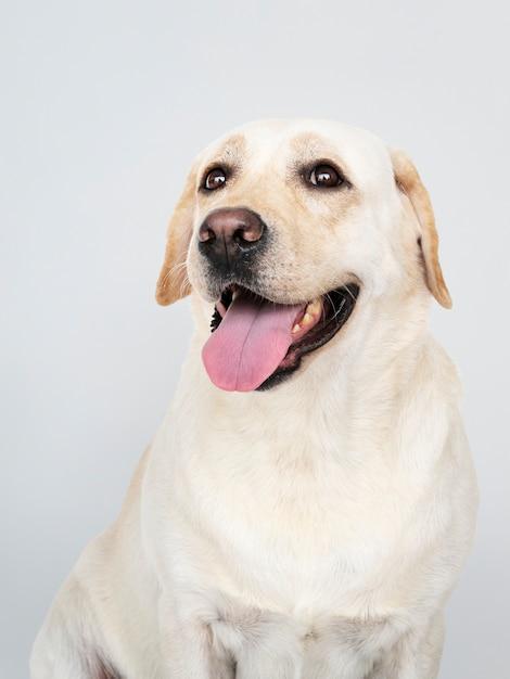 Portrait of a labrador retriever dog Free Psd