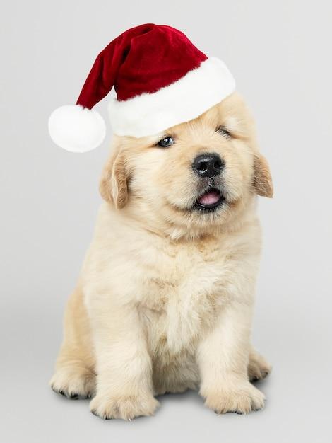 Портрет милого щенка золотистого ретривера в шапке санты Бесплатные Psd