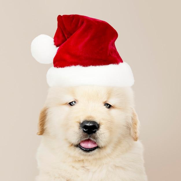 Портрет щенка золотистого ретривера в шляпе санта Бесплатные Psd