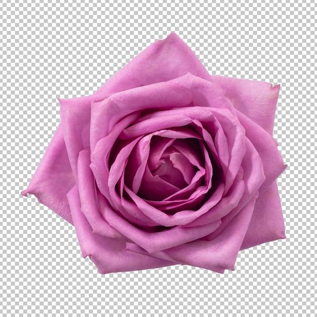 分離された紫色のバラの花 Premium Psd