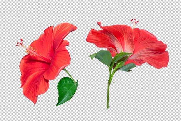 Красная предпосылка прозрачности цветка гибискуса. тропический флористический объект. Premium Psd