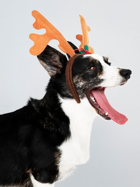 Sleepy cardigan welsh corgi dog wearing antlers Free Psd