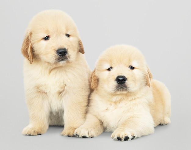 Two adorable golden retriever puppies Free Psd