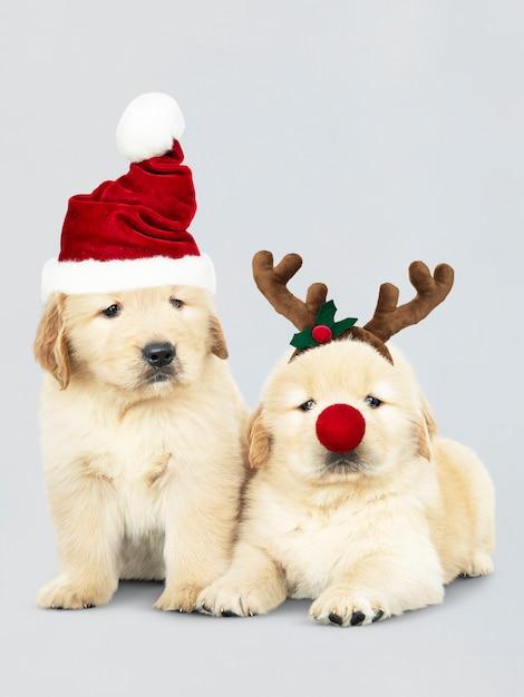 Два щенка золотистого ретривера в шапках санта-клауса и повязке на оленей Бесплатные Psd