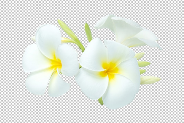 White-yellow bouquet plumeria flowers transparency .floral Premium Psd