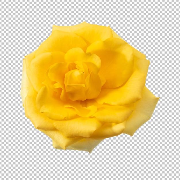 分離された黄色のバラの花 Premium Psd