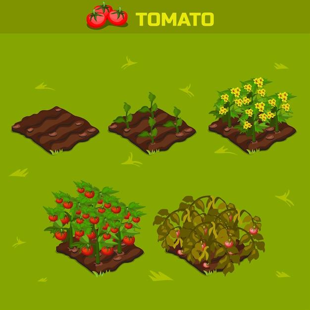 Комплект 1. изометрическая стадия роста помидора Premium векторы