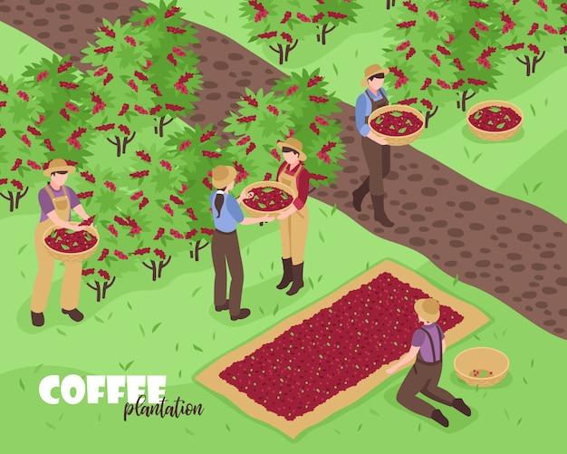 Люди собирают кофейные зерна на плантации 3d изометрии Бесплатные векторы
